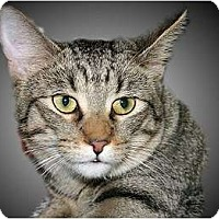 Domestic Shorthair Cat for adoption in Montgomery, Illinois - Bridget
