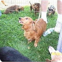 Adopt A Pet :: Ginger - Garden Grove, CA