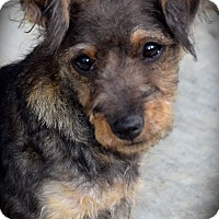 Adopt A Pet :: Micky - La Habra Heights, CA