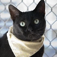 Oriental Cat for adoption in Seal Beach, California - Chiclet