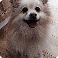 Adopt A Pet :: Otto - Pierrefonds, QC