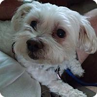 Adopt A Pet :: YOSHIpending - Eden Prairie, MN