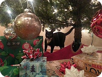 Domestic Shorthair Cat for adoption in Tampa, Florida - Apollo