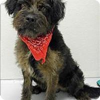 Adopt A Pet :: Captain Schnauzer - Topeka, KS