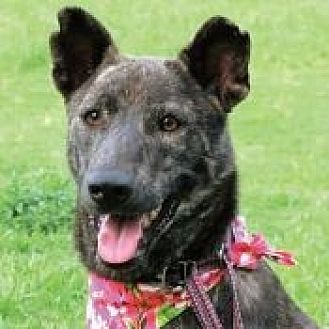 Dutch Shepherd Mix Dog for adoption in San Francisco, California - Bella