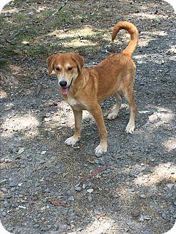 Shepherd (Unknown Type)/Labrador Retriever Mix Puppy for adoption in Kittery, Maine - Taya