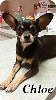 Chihuahua Mix Dog for adoption in Shreveport, Louisiana - Chloe