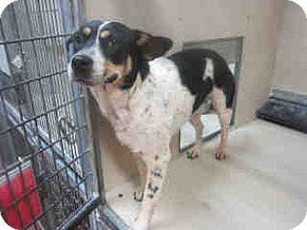 Australian Cattle Dog Mix Dog for adoption in Newnan City, Georgia - Andi