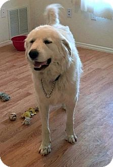 Great Pyrenees Mix Dog for adoption in Peralta, New Mexico - **SNOWY