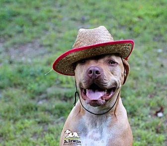 Pit Bull Terrier/Mastiff Mix Dog for adoption in Tyrone, Pennsylvania - Suede