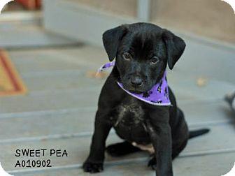 Labrador Retriever Mix Puppy for adoption in Conroe, Texas - Sweet Pea