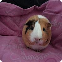 Adopt A Pet :: Millie - Harleysville, PA