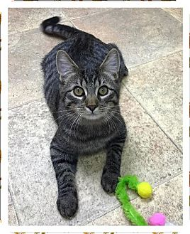 Domestic Shorthair Cat for adoption in Albion, New York - Memphis