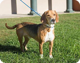 Beagle Dog for adoption in Folsom, Louisiana - George