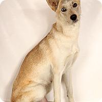 Adopt A Pet :: Calysto - St. Louis, MO