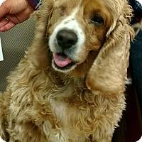 Cocker Spaniel Dog for adoption in Oak Park, Illinois - Zappa