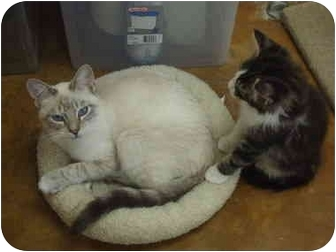 Domestic Shorthair Cat for adoption in Lake Charles, Louisiana - Chris