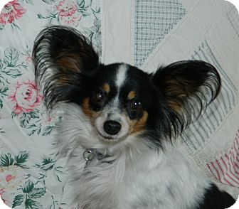 Baby adopted dog conesus ny papillon for Papillon new york