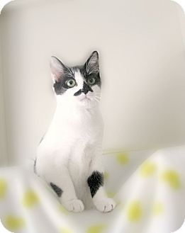 Colorpoint Shorthair Kitten for adoption in Richmond, Virginia - Mickey (Minnie is adopted)