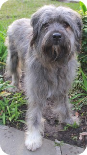 Bearded Collie Mix Dog for adoption in Norwalk, Connecticut - Eddie