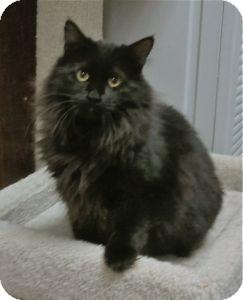 Domestic Mediumhair Cat for adoption in Colorado Springs, Colorado - Gwendolyn