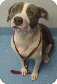 Pit Bull Terrier Mix Dog for adoption in Gainesville, Florida - Cookie
