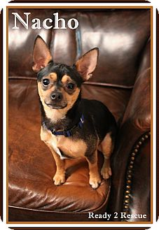 Chihuahua/Miniature Pinscher Mix Dog for adoption in Rockwall, Texas - Nacho