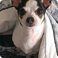Adopt A Pet :: Precious in Austin - San Antonio, TX