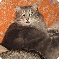 Domestic Mediumhair Cat for adoption in Sherman Oaks, California - Zane Gray