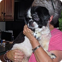 Japanese Chin Mix Dog for adoption in Homer, New York - Misha