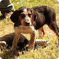 Adopt A Pet :: Tahlulah - Brattleboro, VT