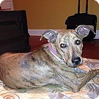 Adopt A Pet :: Ginger - Sagaponack, NY