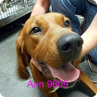Adopt A Pet :: Ann - baltimore, MD