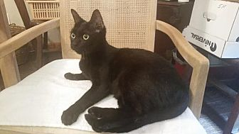 Domestic Shorthair Cat for adoption in Fort Pierce, Florida - Moette