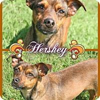 Adopt A Pet :: Hershey - Tampa, FL
