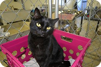 Domestic Shorthair Cat for adoption in East Smithfield, Pennsylvania - Yukon