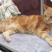 Adopt A Pet :: Pumpkin - Lakewood, CO