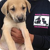 Adopt A Pet :: ROSEBUD Tan female - Pompton lakes, NJ