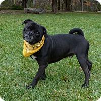 Adopt A Pet :: Zyke - Mocksville, NC