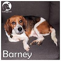 Adopt A Pet :: Barney - Novi, MI