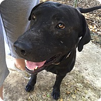 Bull Terrier Mix Dog for adoption in Key Biscayne, Florida - Pillo