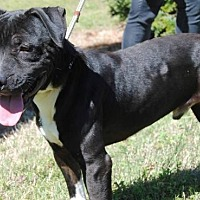 Adopt A Pet :: Chaos- IOW County Animal Shelter - Fredericksburg, VA