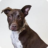 Adopt A Pet :: Nina - Rockwall, TX