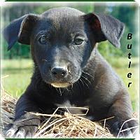 Adopt A Pet :: Butler - Marlborough, MA