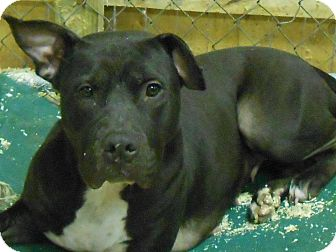 Pit Bull Terrier Dog for adoption in middle island, New York - Simba