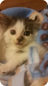 Domestic Shorthair Kitten for adoption in Rockford, Illinois - Noah