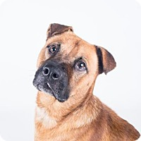 Bullmastiff Mix Dog for adoption in Decatur, Georgia - Gajo