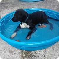 Labrador Retriever/Border Collie Mix Puppy for adoption in Bryant, Alabama - Little Man