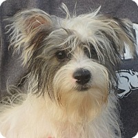 Yorkie, Yorkshire Terrier Puppy for adoption in Westport, Connecticut - Luther