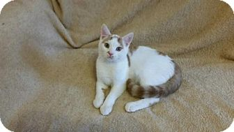 Domestic Shorthair Kitten for adoption in Ridgewood, New York - DANIEL